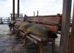 San Cristobal - Seelöwen auf den Bänken am Malecon