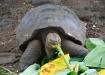 Galapagos-Riesenschildkröte im Galapaguera-Aufzuchtcenter