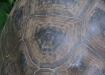 Wie Baumringe können auch bei Schildkröten die Lebensringe auf dem Panzer gezählt und damit das Alter eruiert werden.