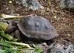 Jüngeres Schildkröten-Weibchen