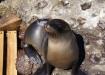 neugieriger Seelöwe begrüsst uns beim Schnorchelspot Las Tijeretas