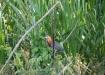 Tiger Heron - Marmorreiher