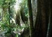Cachichira-Bäume