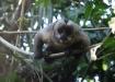Cappuchino-Monkey - schaut blöd aus der Wäsche, als er am Boden Räphu entdeckt!