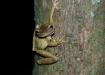 Dschungel-Frosch...