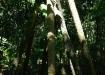 walking tree - mit seinen neu angelegten Seitenstämmen bewegt er sich stets dem Licht entgegen
