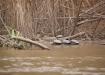Schildkröten am Ufer des Rio Beni