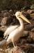 Im Zoo schaut uns der Pelikan neugierig zu.