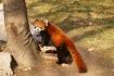 Das süsse Tier ist ein kleiner Panda, auch Roter Panda, Katzenbär, Bärenkatze, Feuerfuchs oder Goldhund genannt. Er lebt in der Freiheit in Südchina und am Rande des Osthimalayas.