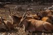 Oryx-Antilpoen