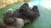 Gorilla-Männchen