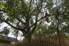 Sri Maha Bodhi - heiliger Feigenbaum in Anuardhapura