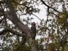 Mr. Woodpecker - Strichelkopfspecht (Veniliornis lignarius)