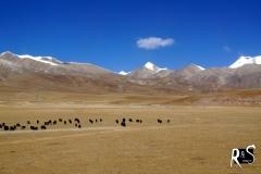 Yak-Herde auf der unendlichen Ebene des Changtang in Nordtibet