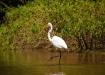 Silberreiher - Great Egret (Ardea alba 99cm)
