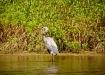 Kanadareiher - Great Blue Heron (Ardea herodias 117cm)