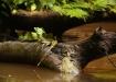 Stirnlappenbasiliks - Plumed Basilisk (basiliscus plumifrons)