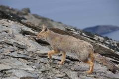 Fuchs auf dem Gipfel