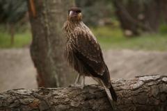 Chimangokarakara - Greifvogel