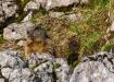 Ein neugieriges Exemplar eines Murmeltiers