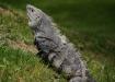 ein grosses Exemplar eines Green Iguana (Männchen)