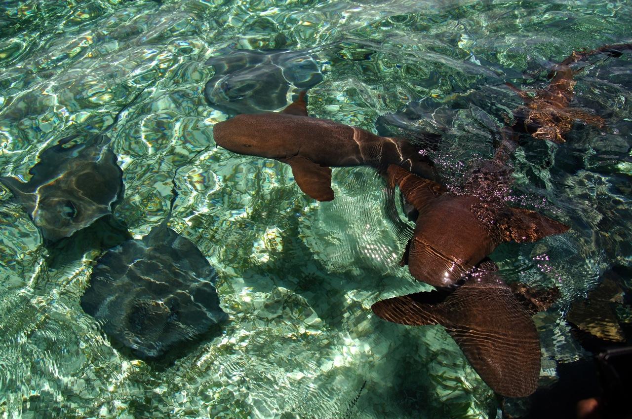 Südliche Stechrochen und Ammenhaie