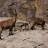 Rinderhorn und Steinböcke im Lämmerental