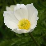 Eine narzissenblütige Anemone
