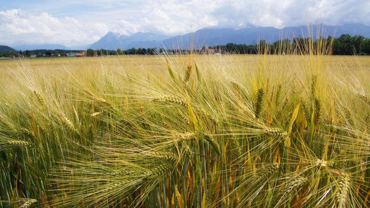 ein Weizenfeld unterwegs auf den letzten Kilometern - der Niesen ist schon zum Greifen nah!